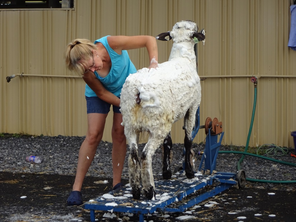 An exhibitor soaps up her goat for competition.