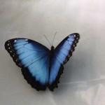 blue-butterfly-16