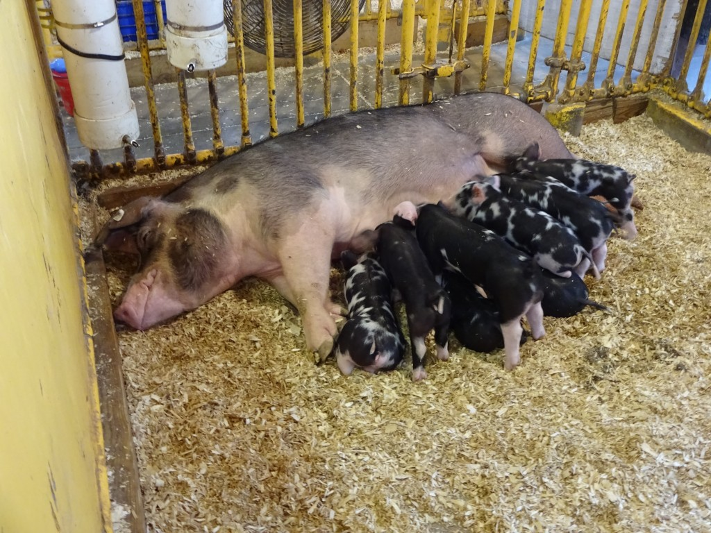 Nursing piglets are a perennial favorite of livestock fans at the new York State Fair.