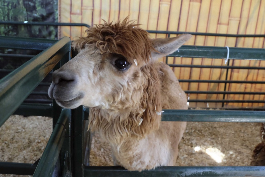 The first few days of the Fair features llamas in the goat and swine barn.